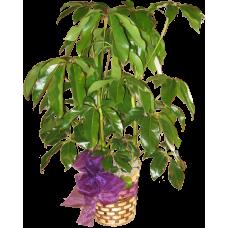 Large Schefflera Plant